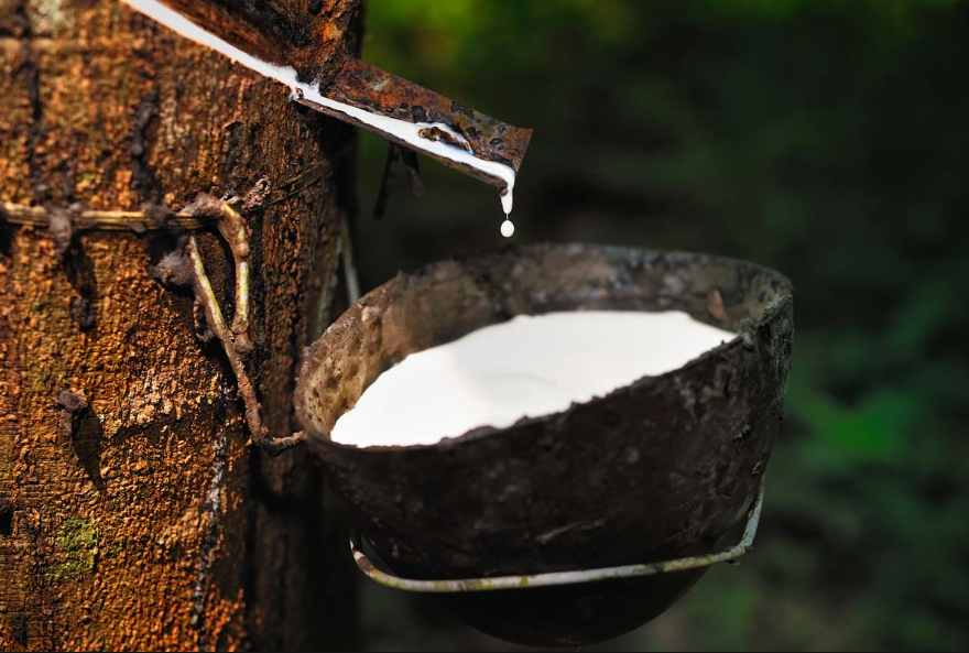 Latex extracted from the rubber tree,
